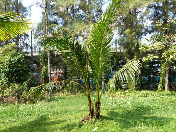 Cocos nucifera L. 'Pleuk wann'