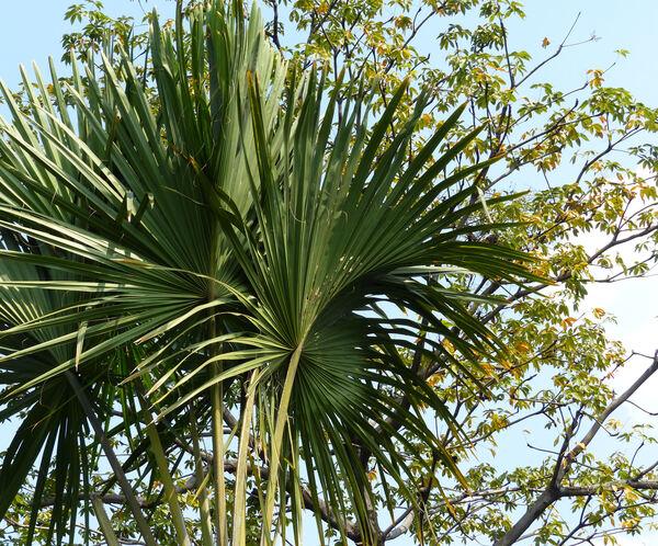 Corypha lecomtei Becc. ex Lecomte