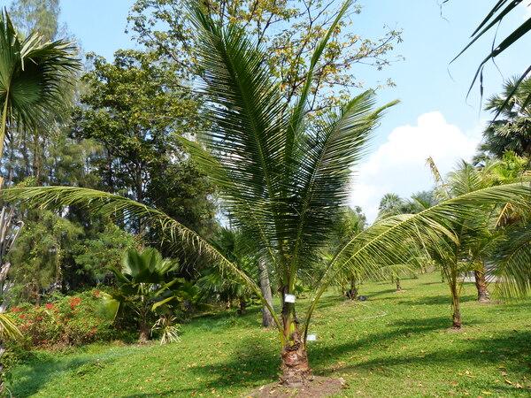 Cocos nucifera L. 'Krati nam sai'
