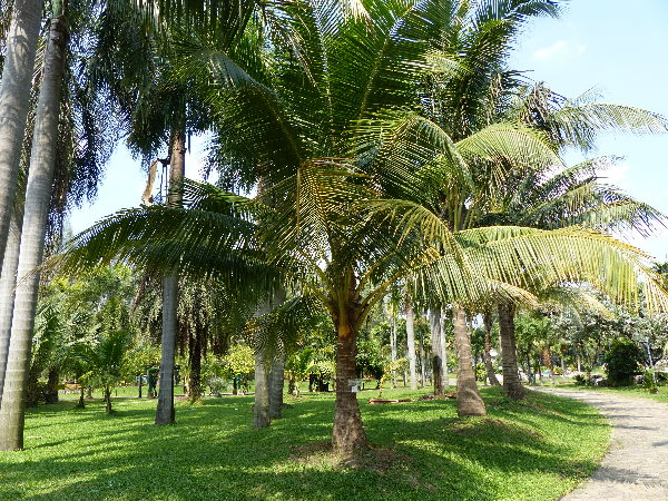 Cocos nucifera L. 'Lek si thong'