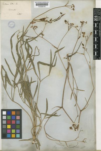Peucedanum coriaceum Rchb.