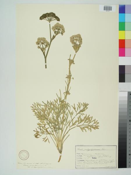 Seseli polyphyllum Ten.