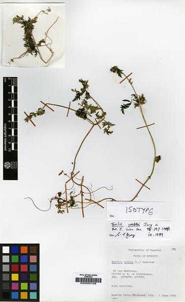 Torilis nodosa (L.) Gaertn. subsp. webbii (Jury) Kerguélen