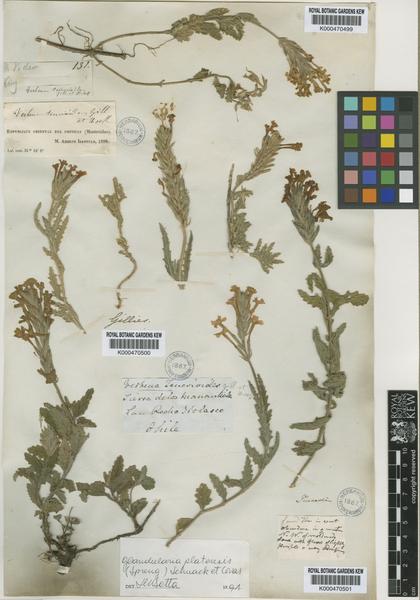 Glandularia platensis (Spreng.) Schnack & Covas
