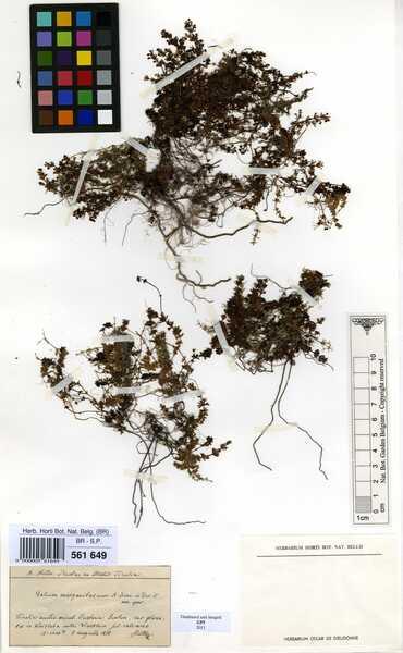 Galium margaritaceum A.Kern.