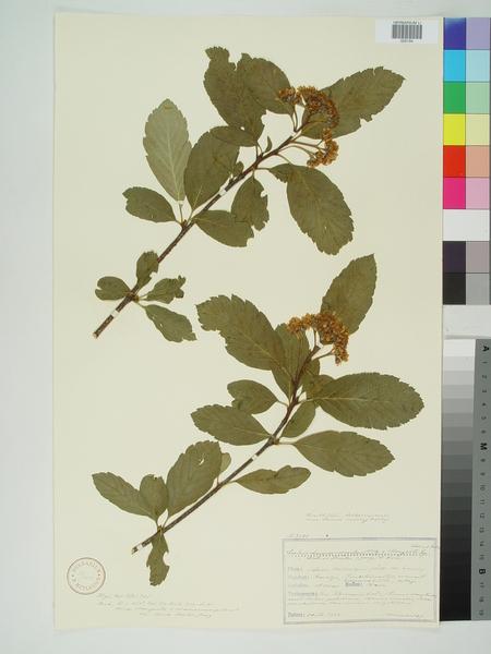 Sorbus ×hostii (J.Jacq. ex Host) Heynh.