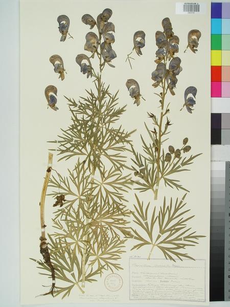 Aconitum burnatii Gáyer subsp. burnatii
