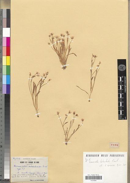 Ranunculus batrachioides Pomel