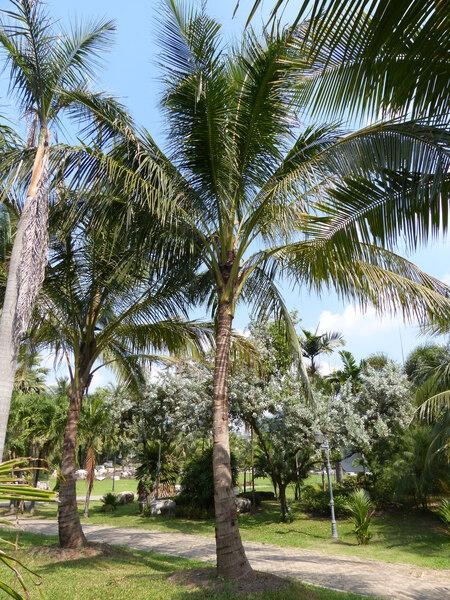 Cocos nucifera L. 'Talay baa'