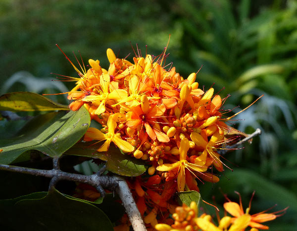 Saraca thaipingensis Cantley ex Prain