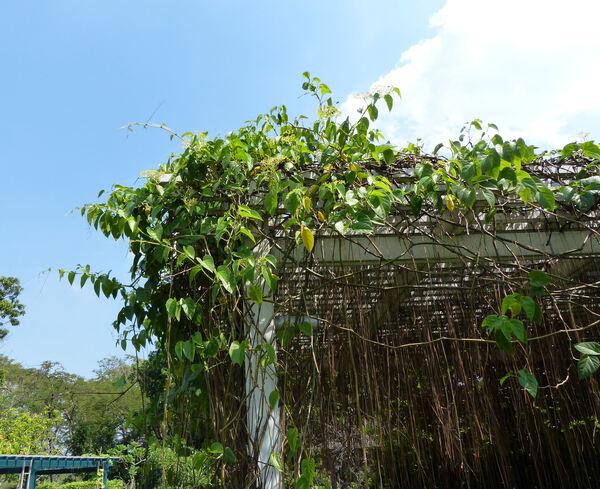 Cissus sicyoides L.