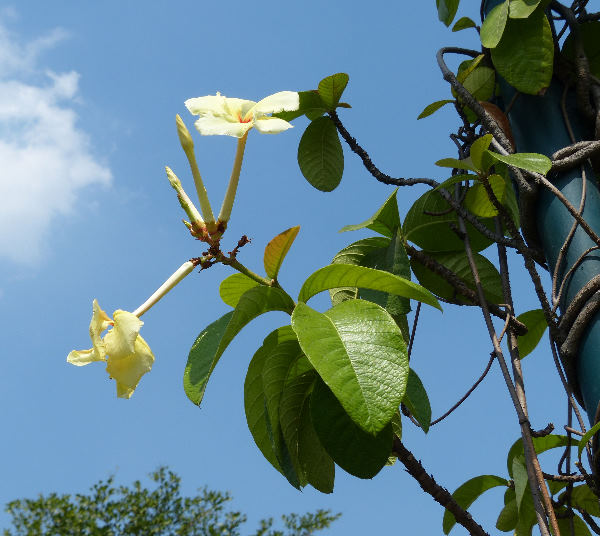 Chonemorpha verrucosa (Blume) Mabb.