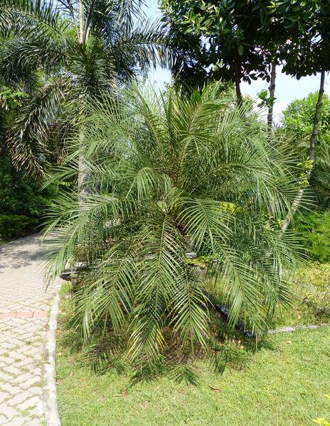 Phoenix loureiroi Kunth