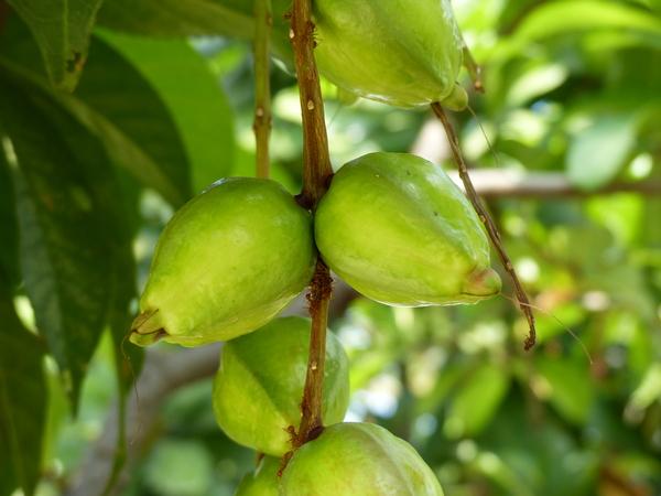Barringtonia acutangula (L.) Gaertn.