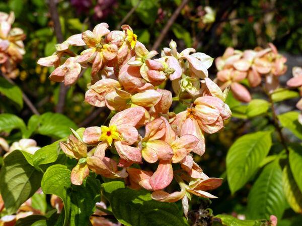 Mussaenda erythrophylla Schumach. & Thonn. 'Dona Luz'