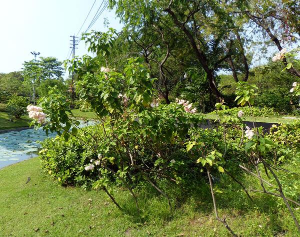 Mussaenda philippica A.Rich. 'Queen Sirikit'