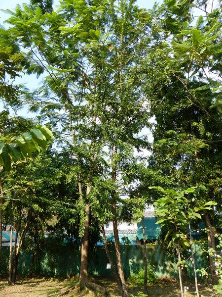 Feroniella lucida (Scheff.) Swingle