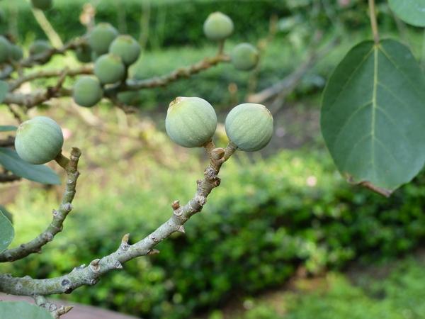 Ficus sycomorus L.