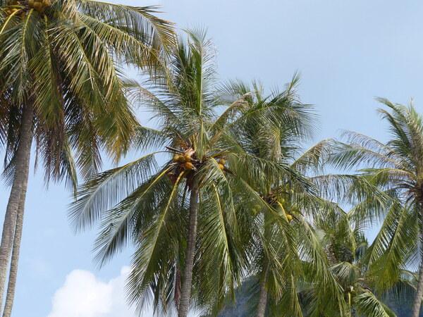 Cocos nucifera L.