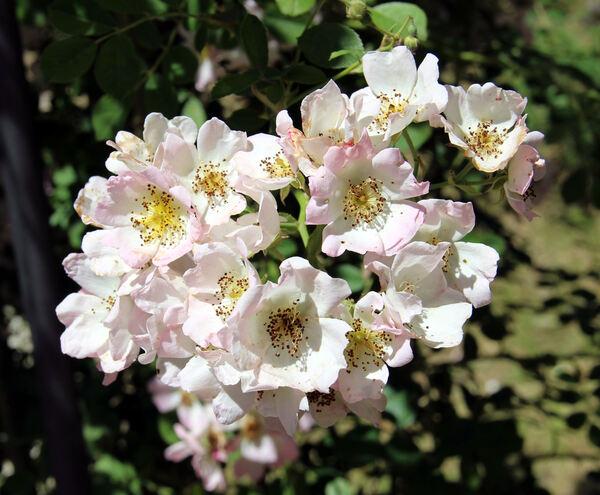 Rosa 'Kew Rambler'