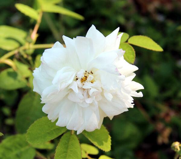 Rosa 'Vierge de Cléry'