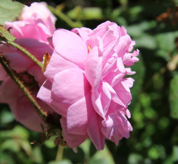 Rosa 'Centifolia Muscosa'