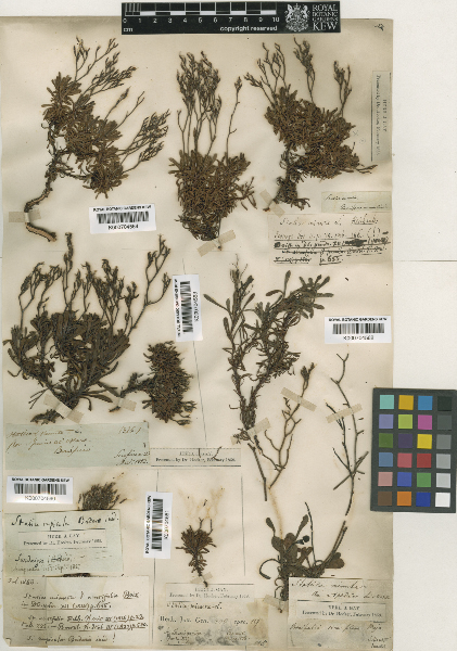 Limonium acutifolium (Rchb.) Salmon subsp. acutifolium