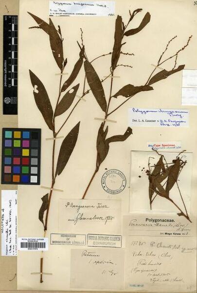 Persicaria bungeana (Turcz.) Nakai