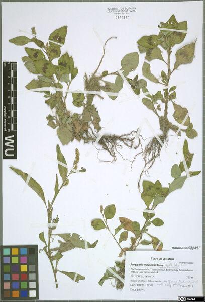 Persicaria lapathifolia (L.) Delarbre subsp. brittingeri (Opiz) Soják