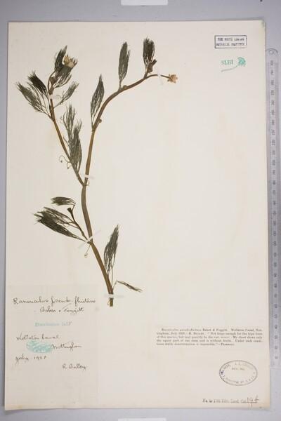 Ranunculus pseudofluitans (Syme) Newbould ex Beker & Foggitt