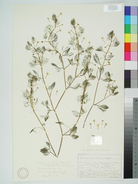 Ranunculus rionii Lagger
