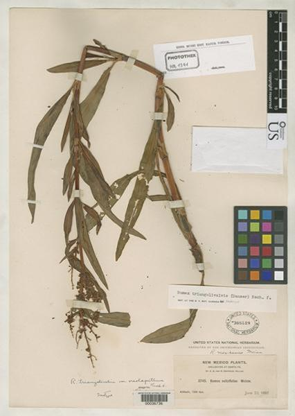 Rumex triangulivalvis (Danser) Rech.f.