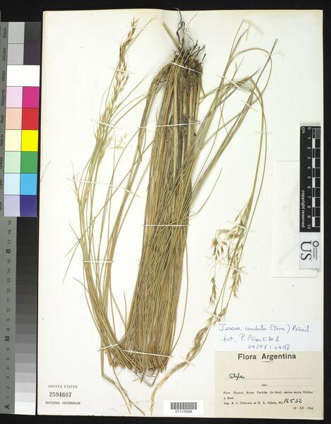 Amelichloa caudata (Trin.) Arriaga & Barkworth