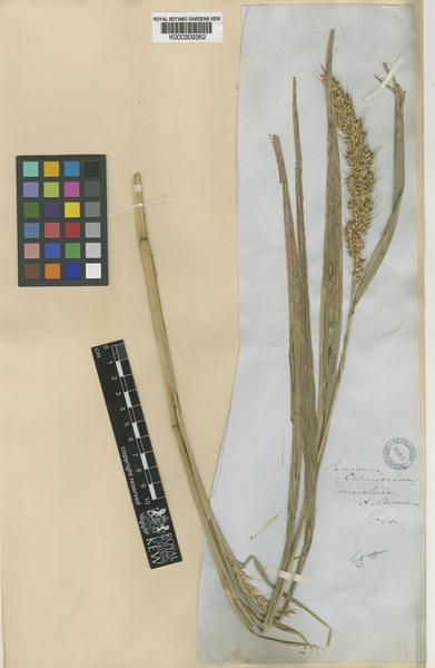 Echinochloa oryzoides (Ard.) Fritsch