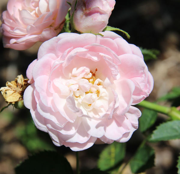 Rosa 'Great Maiden's Blush'