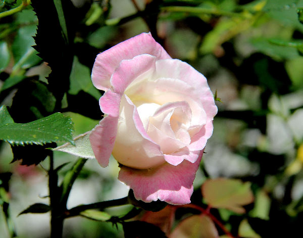 Rosa 'Homère'