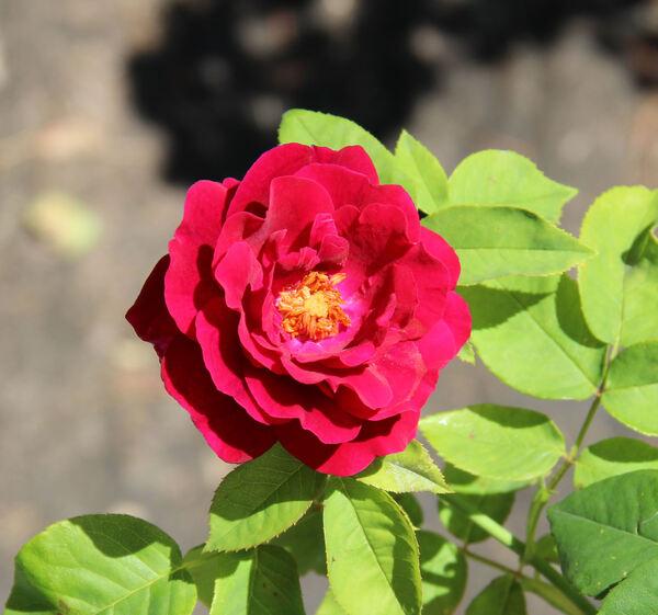 Rosa 'Souvenir d'Alphonse Lavallée'