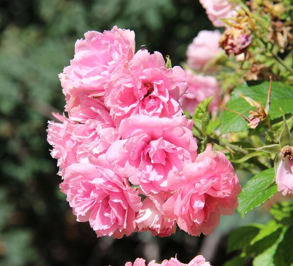 Rosa 'Pink Grootendorst'