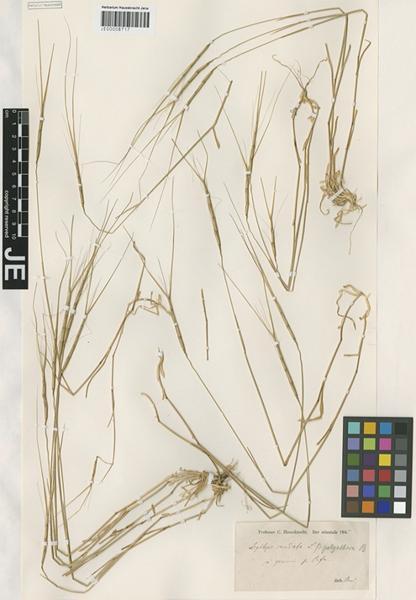 Triticum caudatum (L.) Raspail subsp. caudatum
