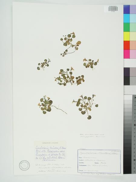 Cymbalaria mulleri (Moris) A.Chev.