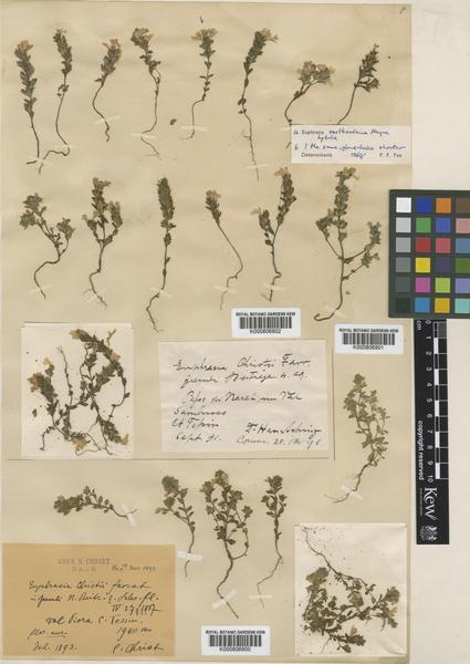 Euphrasia alpina Lam. subsp. christii (Favrat) Hayek