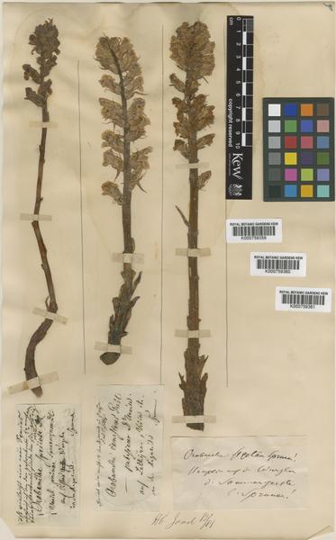 Orobanche canescens C.Presl