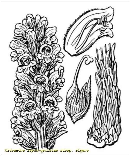 Orobanche rigens Loisel.