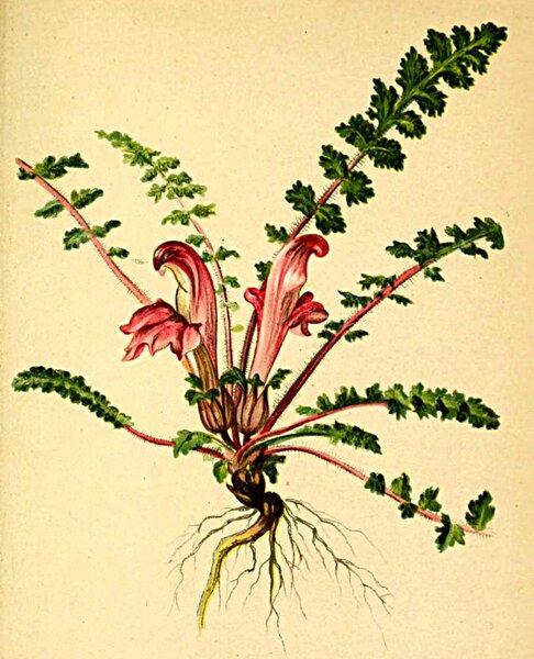 Pedicularis acaulis Scop.
