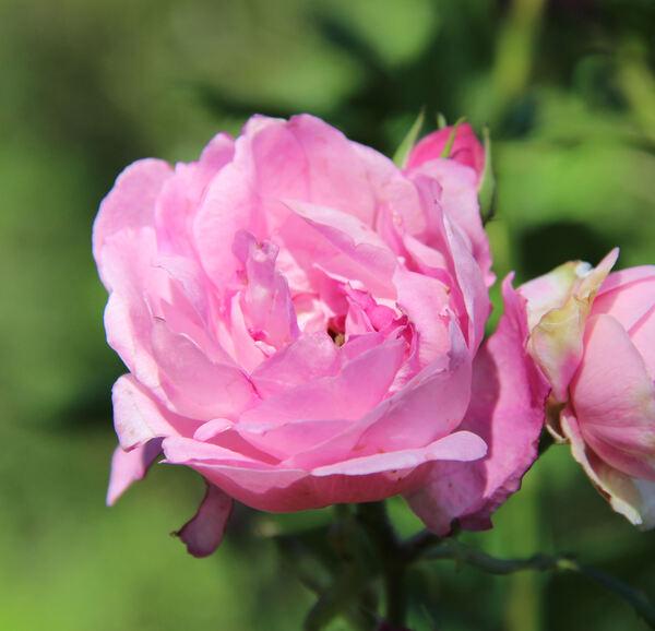 Rosa 'Reine Victoria'