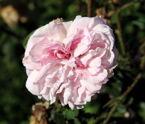 Rosa 'Gloire de Mousseux'