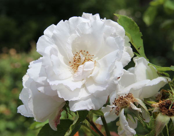 Rosa 'Frau Karl Druschki'