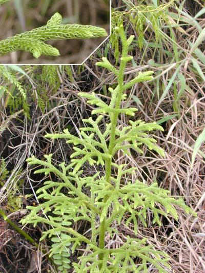 Lycopodiella cernua (L.) Pic.Serm.