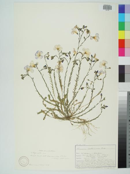 Linum austriacum L. subsp. collinum (Boiss.) Nyman