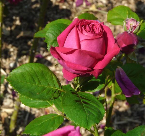 Rosa 'Madame Cécile Morand'